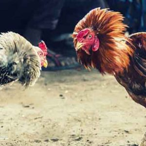 Compete Against the Best in Online Cockfighting